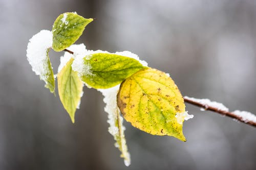 Green withered leaves hanging on thin sprig covered with white snow in forest on blurred background in cold winter day