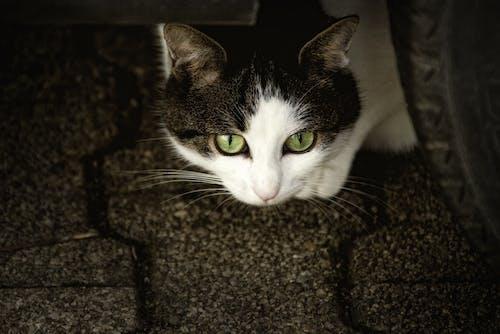 ネコ, ペット, 動物, 動物の写真の無料の写真素材