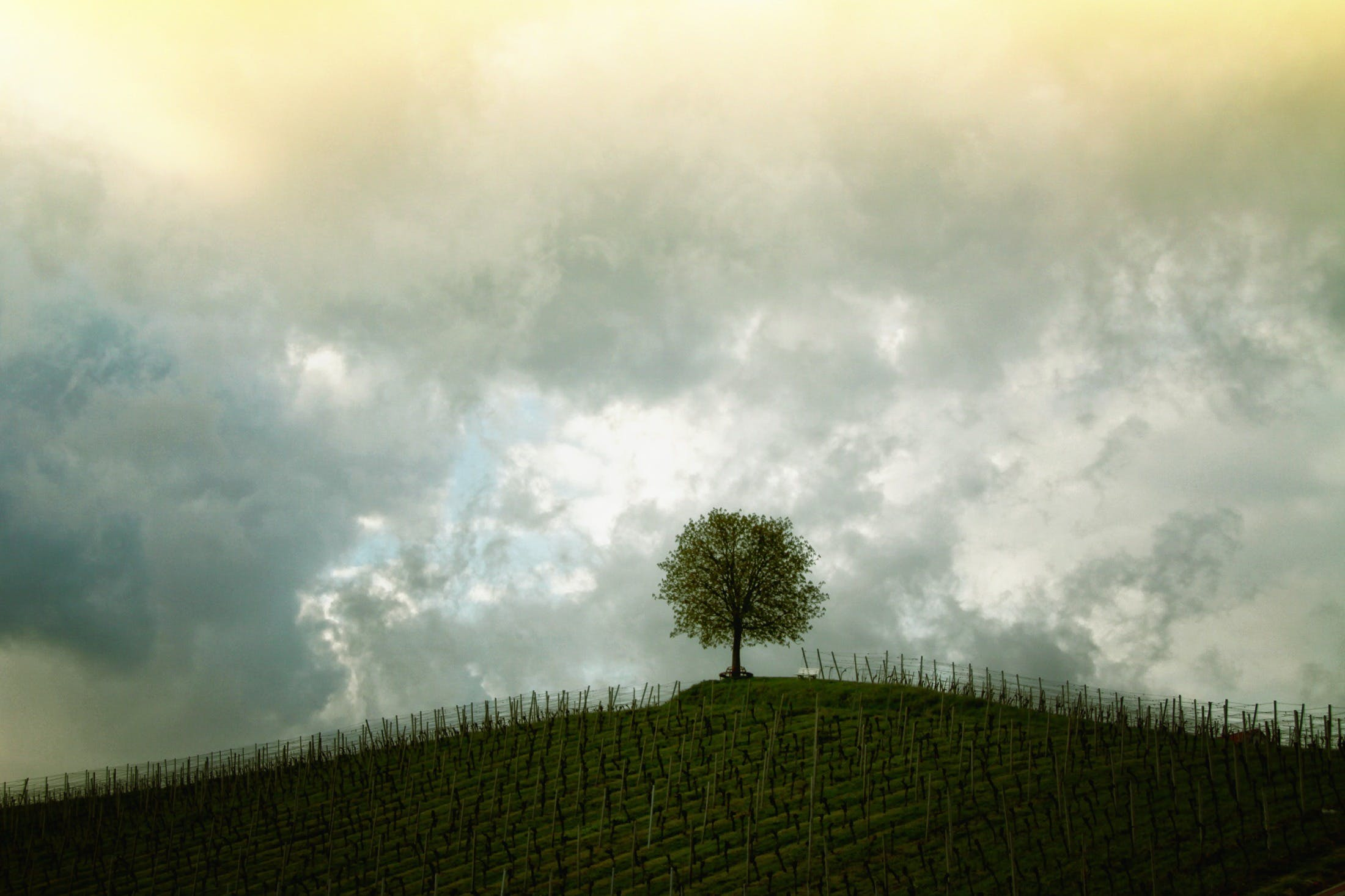 Green Tree Under the Grey and Yellow Sky