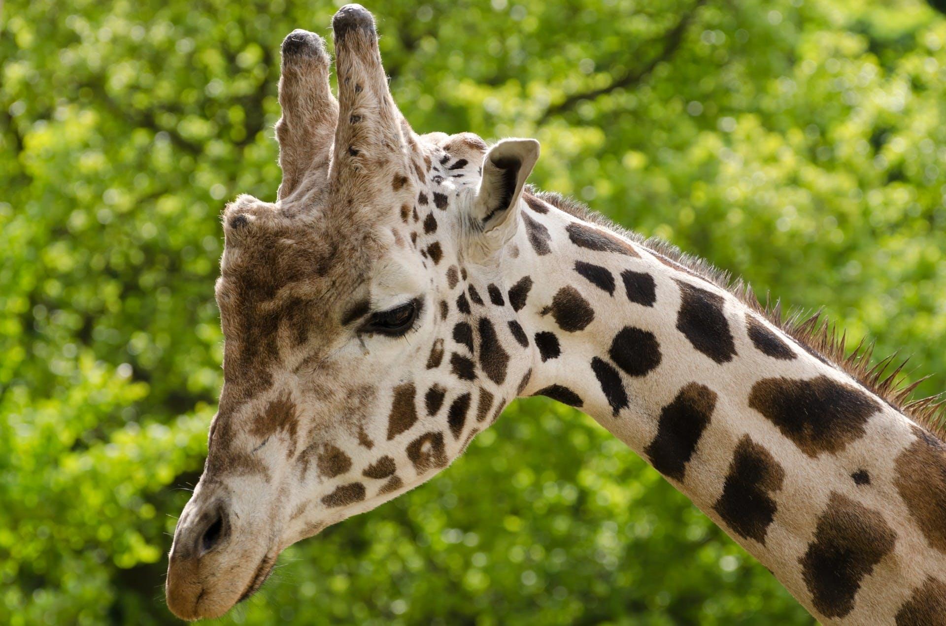 Beige and Black Giraffe Photo