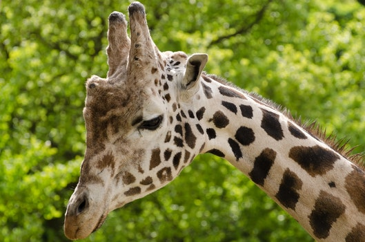 Beige and Black Giraffe Photo