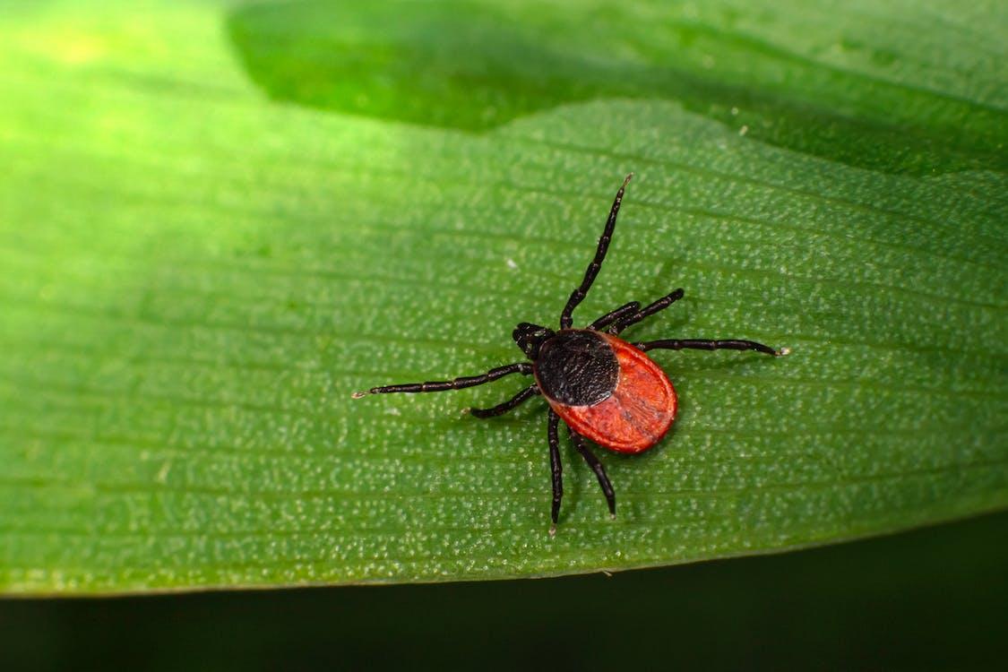 Schwarze Und Rote Spinne Auf Grünem Blatt