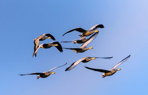 Flock of wild bar headed geese with spread wings hovering over clear blue sky