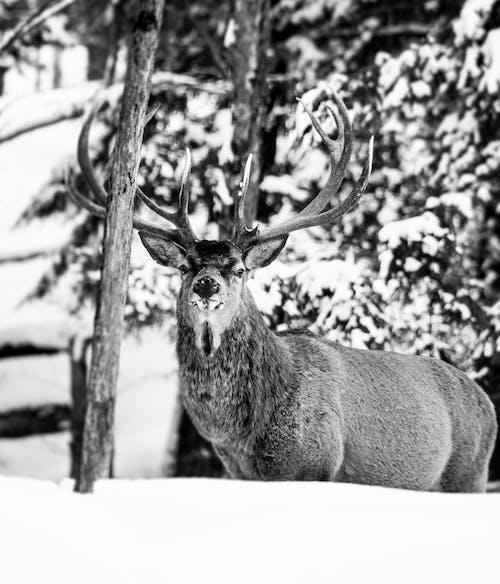 Free stock photo of animal, antler, buck