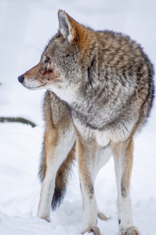 Free stock photo of coyote