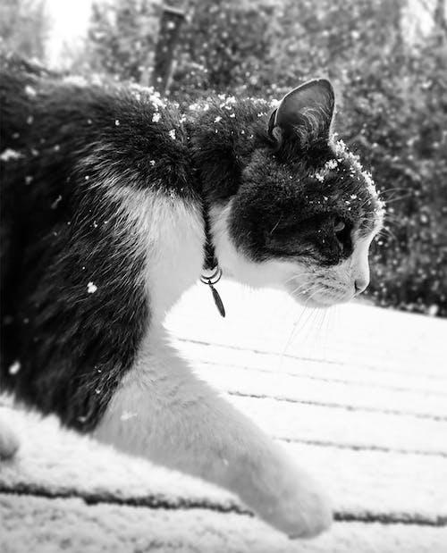 Free stock photo of cat, snow, snow fall