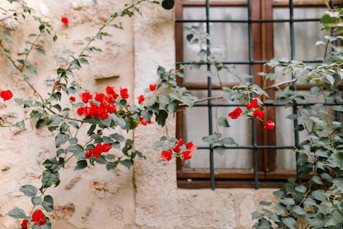 Czerwone Kwiaty Na Brązowym Oknie Drewniane