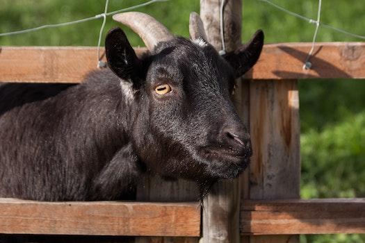 Black Goat during Daytime
