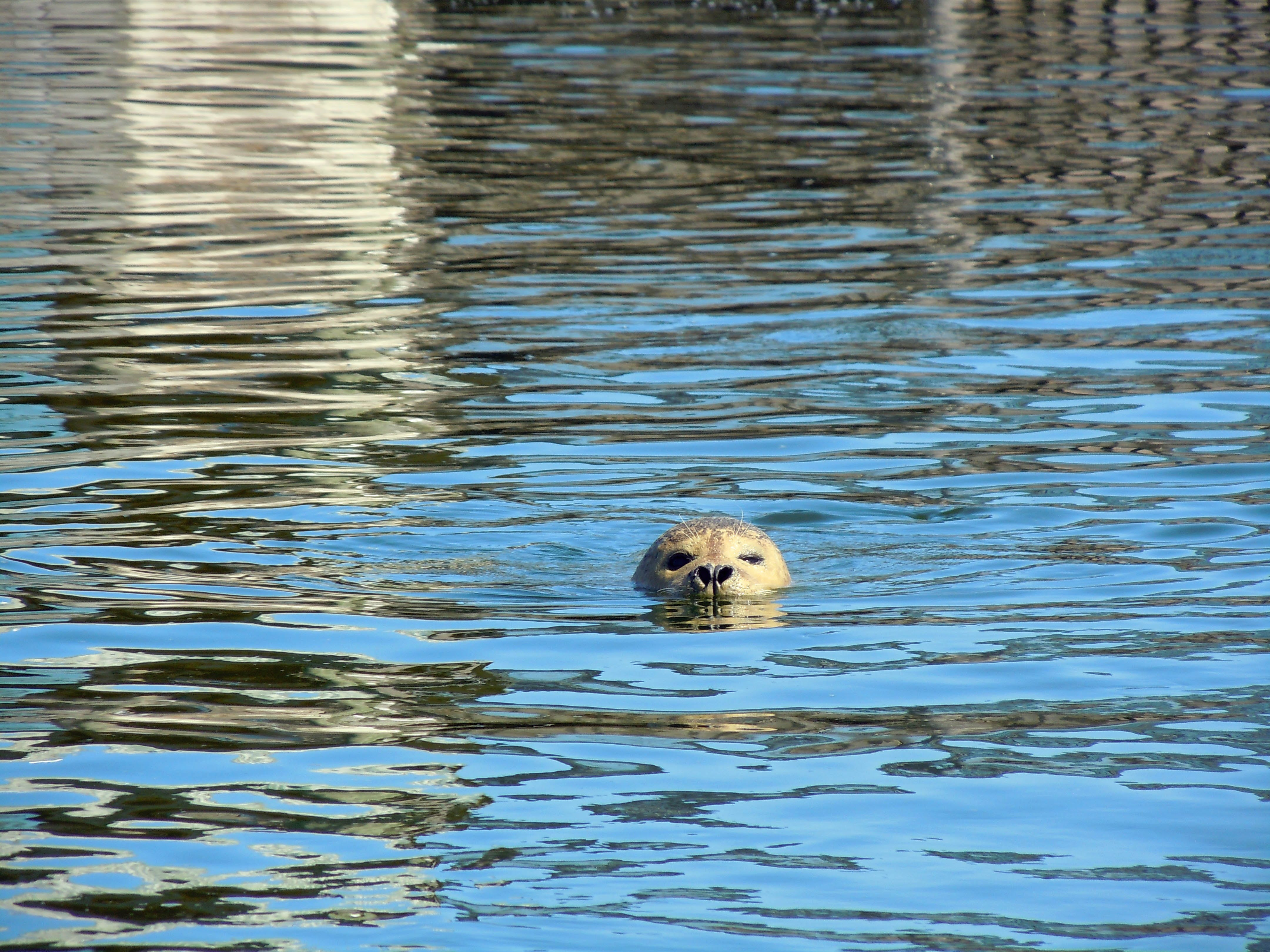 Gold Retriever Swimming in Water during Daytime