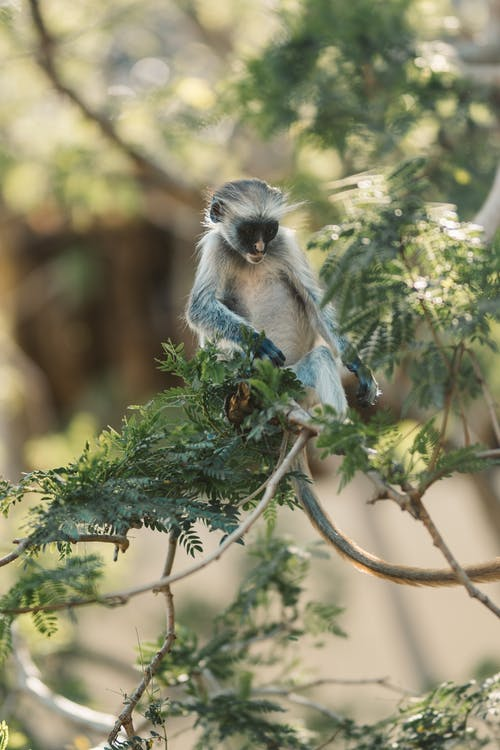 Gray Langur Monkey Sitting On Tree Branch