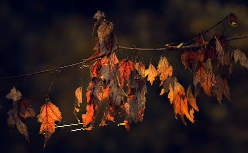 Gratis lagerfoto af ahorn, blad, efterår, falde