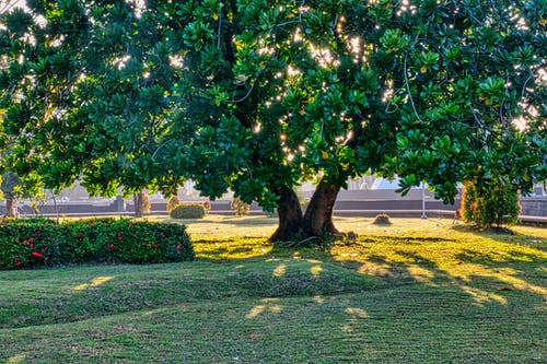 Tall tree with thick trunk and lush green foliage growing on grassy terrain near bushes on summer day in garden