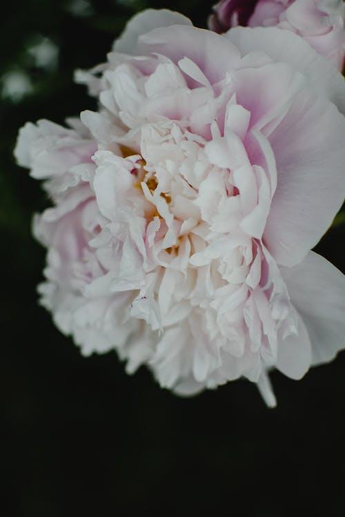 白色和粉紅色的花,在關閉了攝影