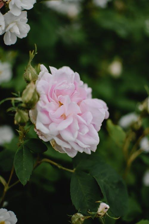 移軸鏡頭中的粉紅色花朵