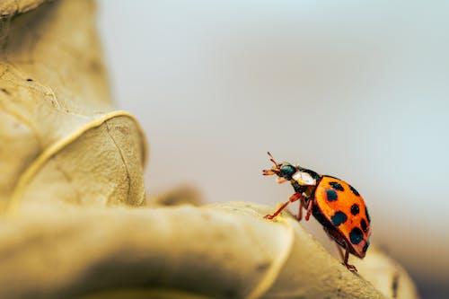 Ladybug on dry rough leaf in forest