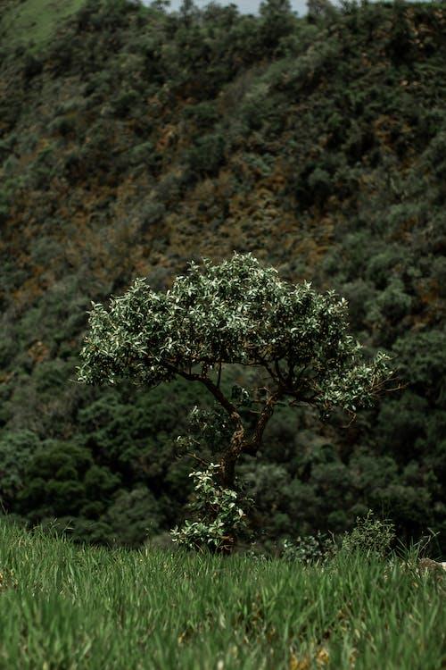 Foto profissional grátis de árvore, Brasil, colina, ecológico