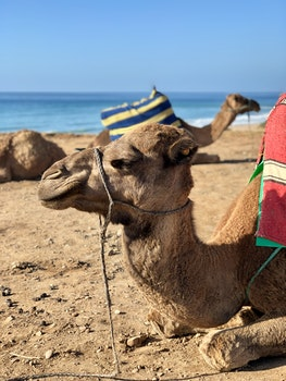 Camel Resting By The Shore