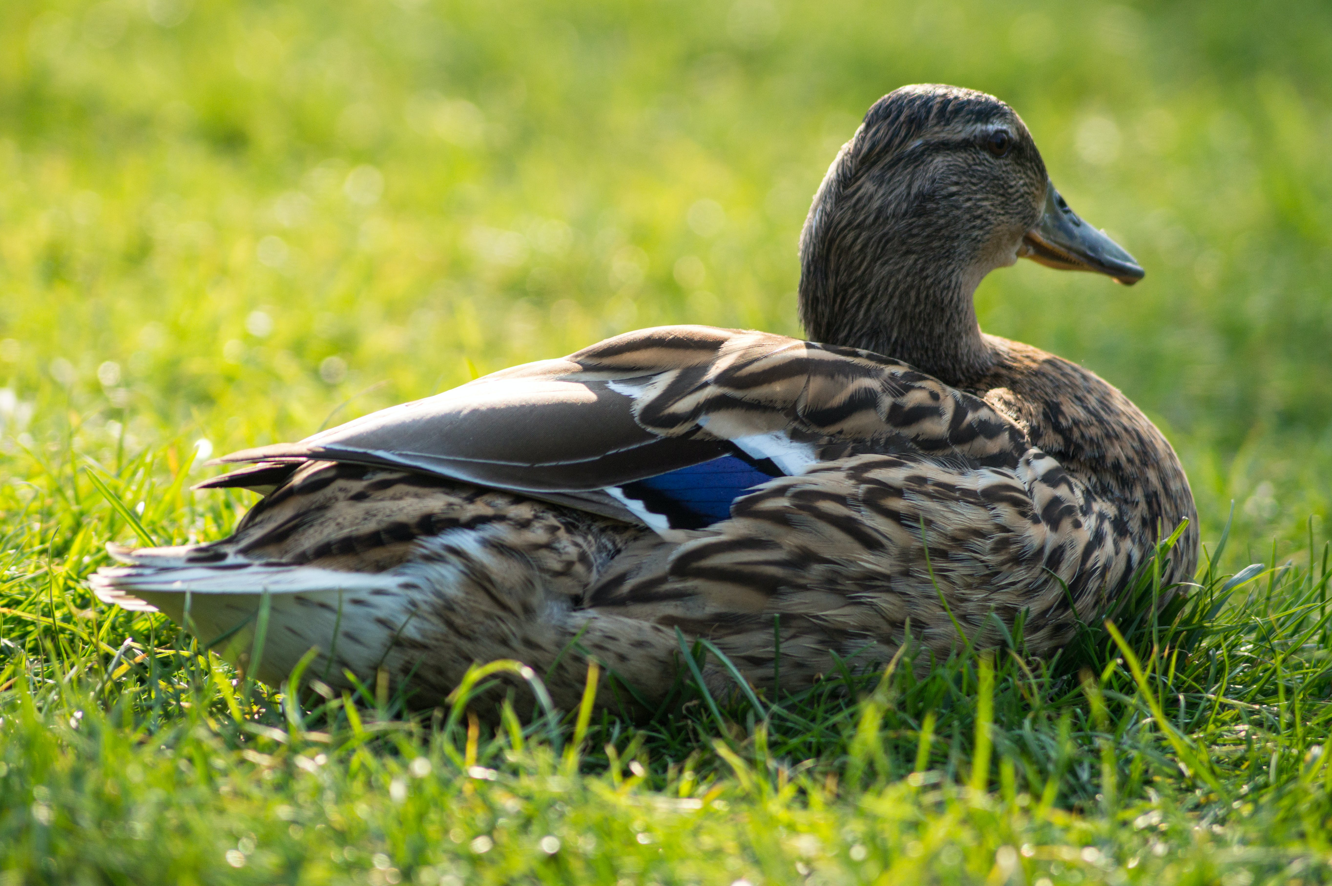 Gray and Beige Duck on Grass