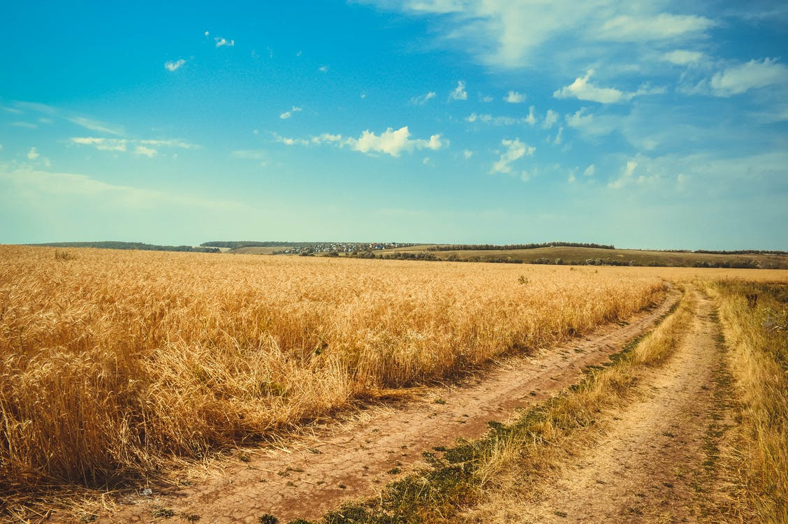 Brown Wheat Field Under White Clouds Blue Sky