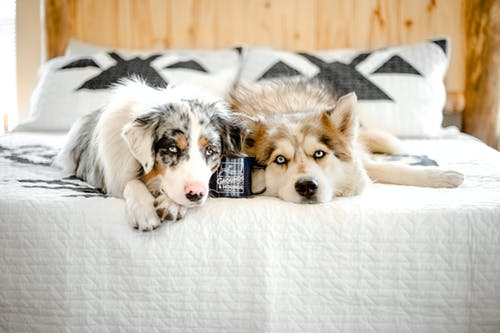 Adorable fluffy Husky and Siberian Shepherd dogs lying close on cozy bed in light modern bedroom and looking at camera