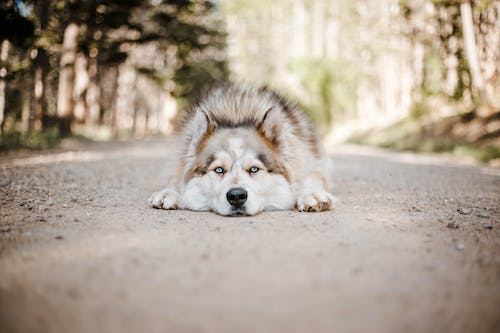 Adorable Husky lying on rural road in sunny forest