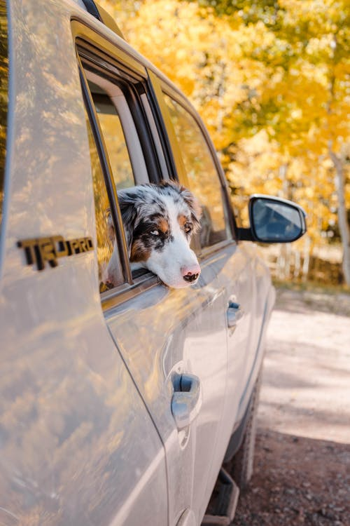 Adorable obedient Australian Shepherd dog sitting in car back seat and looking out window against yellow trees in sunny autumn forest