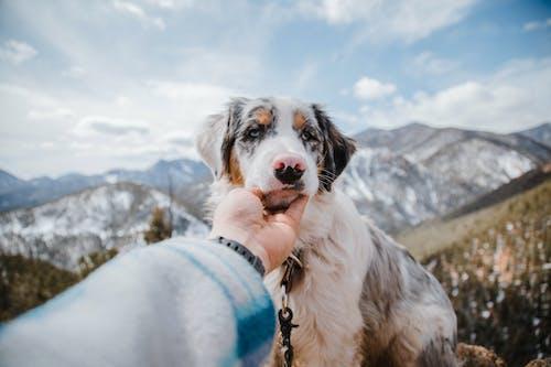 Crop unrecognizable person caressing cute Australian Shepherd in mountainous terrain