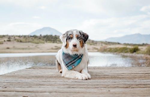 Perro Pequeño De Abrigo Corto Blanco Y Negro Corriendo Sobre Un Muelle De Madera Marrón
