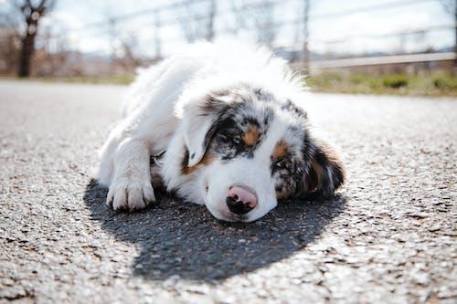 Adorable Australian Shepherd lying on rural road in countryside