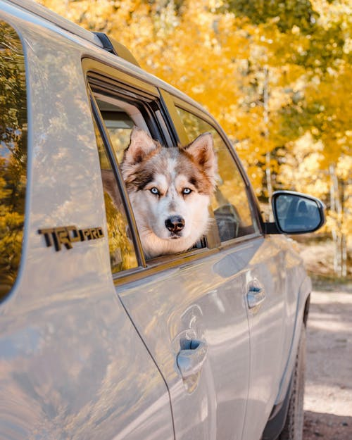 Cute Husky sitting in car parked against autumn forest
