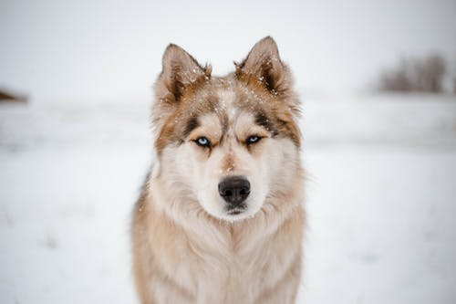 White and Brown Siberian Husky on Snow Covered Ground