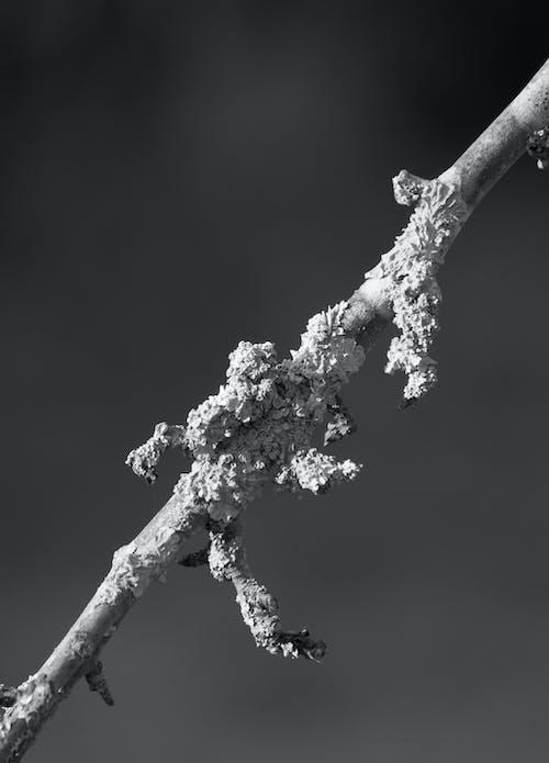 Darmowe zdjęcie z galerii z czarno-biały, gałąź, monochromatyczny, natura
