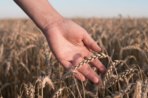 Person Holding Brown Wheat