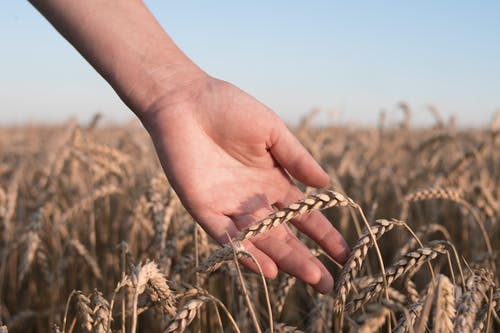 Free stock photo of agriculture, bread, cereal