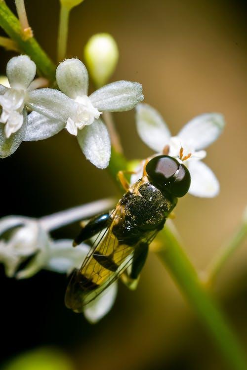 Czarno żółta Pszczoła Na Białym Kwiecie