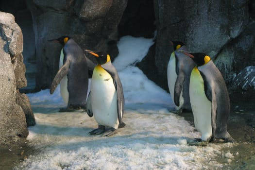 Four King Penguins