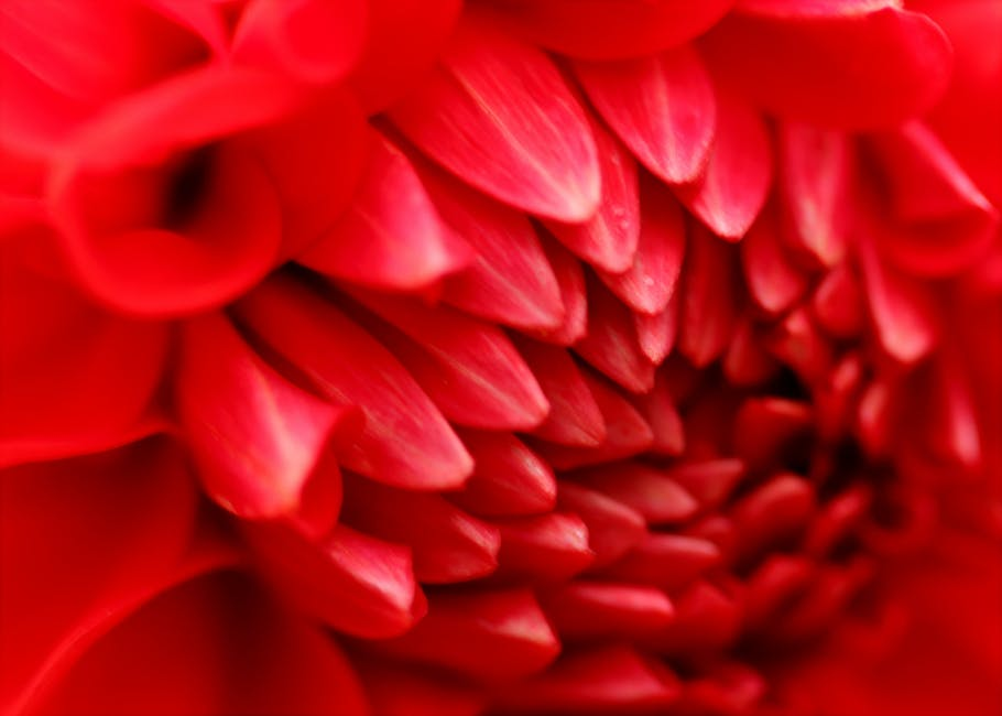 Macro photography of red dahlia flower