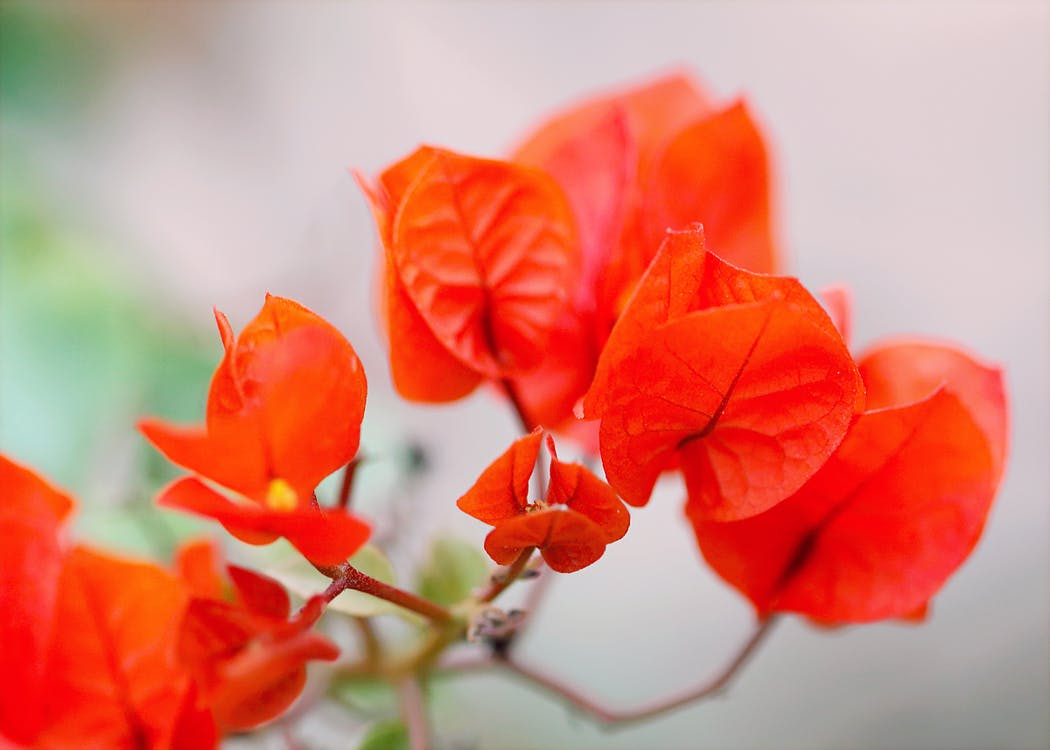 Red Flowers Photo