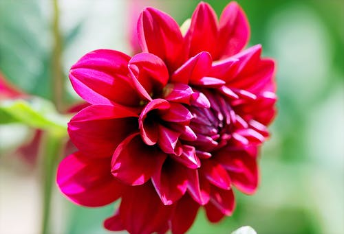 Selective Focus Photography of Red Dahlia Flower