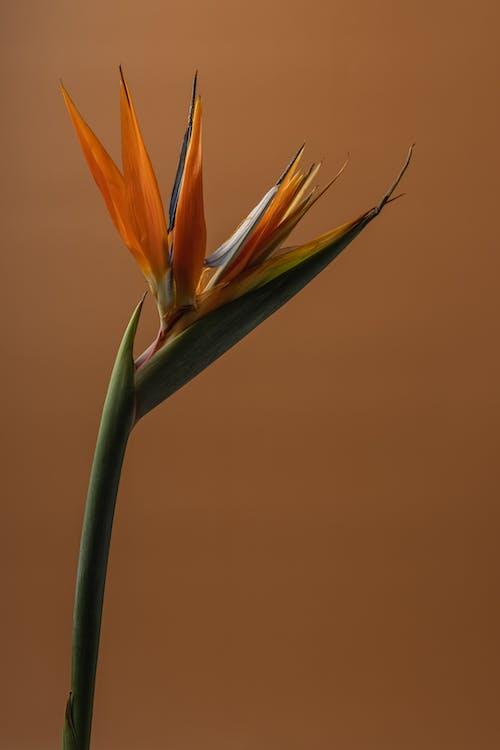 Immagine gratuita di arancia, arancione, bel fiore, colore arancione