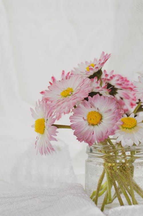 Bunch of fresh tender Bellis perennis flowers in glass vase against white background