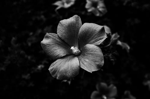Grayscale Photo of a Hibiscus Flower in Bloom