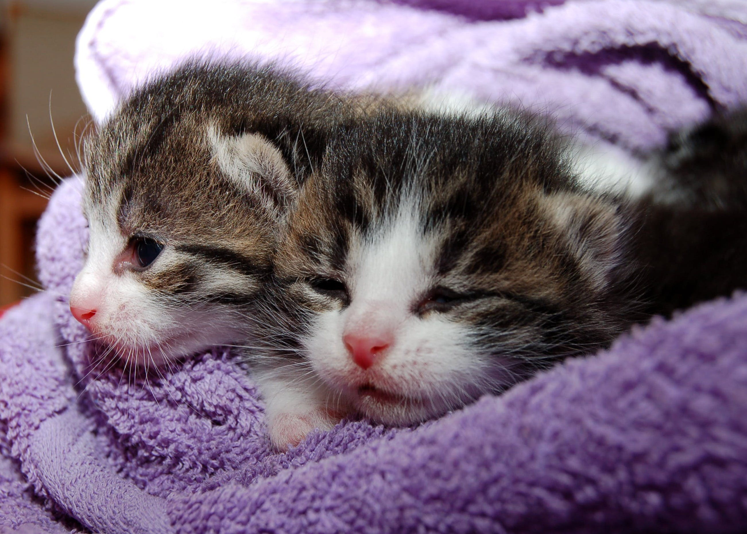 Black Brown and White Kittens in Purple Towel