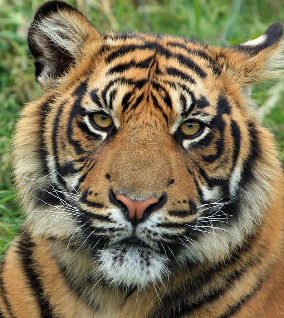 Close-up of an Adult wild Tiger