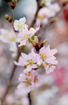 Closeup Photography Of Pink Cherry Blossoms
