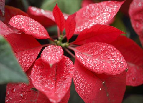 Close up photography of pink flower surrounded by leaves free closeup photography of red poinsettia with water droplets mightylinksfo