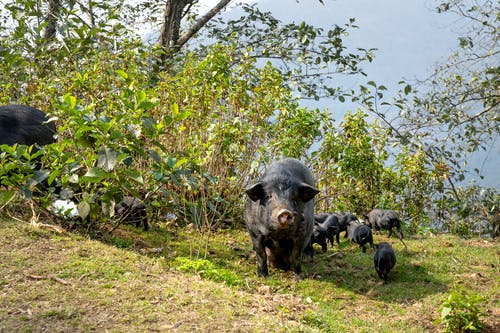 Wild boar grazing in dense green bushes on sunny day with small piglets