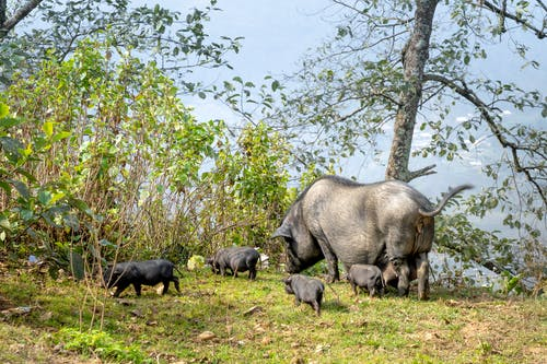 Full body large black pig and cute little piglets grazing on verdant pasture in hilly farmland