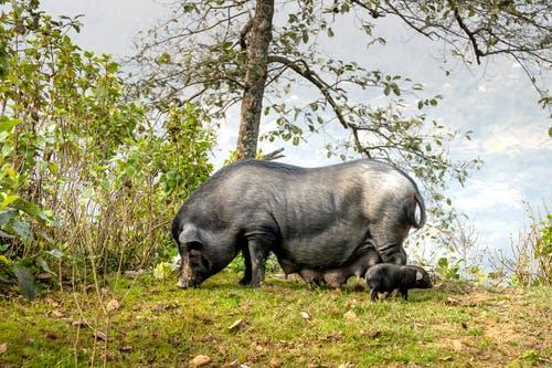 Black pig and piglet grazing on grassy glade