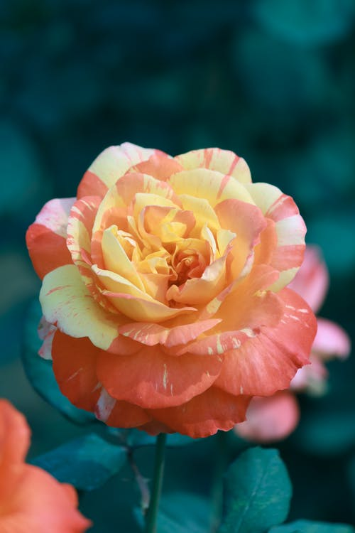 Free stock photo of beautiful, bloom, blooming